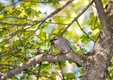 Jay with a nut on a tree in the forest Royalty Free Stock Photos