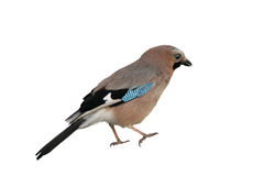 Jay Royalty Free Stock Photography