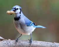Jay with a Peanut Treat. A blue jay (Cyanocitta cristata) perching on a branch in Fall with a peanut in its beak Royalty Free Stock Image