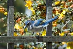 Jay Perched azul en la cerca Fotos de archivo
