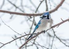 Jay Perched bleu dans Woody Area de bouleau et Aspen dans Lamarche, Québec photographie stock