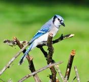 Jay Perched bleu sur des branches d'arbre photo stock
