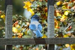 Jay Perched bleu sur la barrière With Back à l'appareil-photo Photos stock