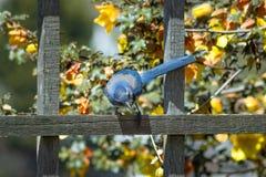 Jay Perched bleu sur la barrière, regardant la terre Images libres de droits