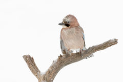 Jay  perched on a branch in winter Stock Photography