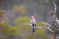 Jay perched on a weathered branch. Stock Photo