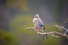 Jay perched on a weathered branch. Royalty Free Stock Photo