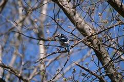 Jay Perching On bleu une branche d'arbre Image libre de droits