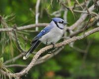 Jay Posed azul en rama del pino Fotos de archivo libres de regalías