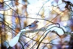 Jay ptak obrazy royalty free