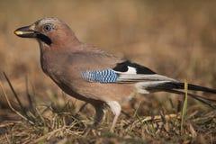 Jay ptak (Garrulus glandarius) Fotografia Stock