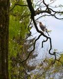 Jay ptak umieszczał na gałąź w drzewie (Garrulus glandarius) Fotografia Stock