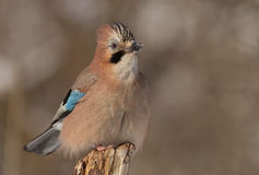 Jay. Resting on a beautiful winter day Stock Image
