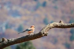 Jay. A jay is resting on tree branch. Scientific name: Garrulus glandarius Royalty Free Stock Photos