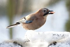 Jay with sausage in beak Royalty Free Stock Photo