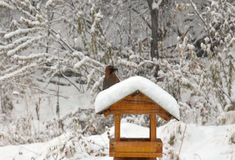 Jay siedzi na dozowniku przyszła zima Garrulus glandarius (Eurazjatycka sójka) Zdjęcie Royalty Free