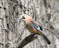 The jay sits on a branch Stock Images