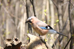 The jay sits on a dry snag Royalty Free Stock Photography
