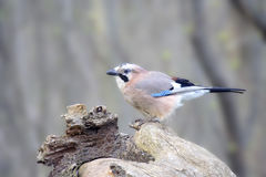 The jay sits on a dry snag Stock Images