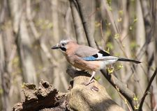 The jay sits on a snag Royalty Free Stock Photo