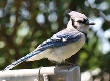 Jay Sitting azul en la cerca foto de archivo