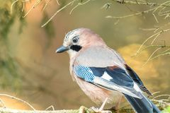 Jay is sitting on the branch. Jay is sitting on the old branch and looking for seeds Stock Photos