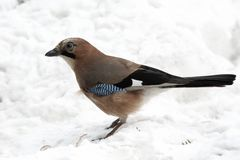 Jay on snow Royalty Free Stock Images