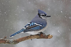Jay in the Snow. A blue jay (Cyanocitta cristata) perching on a branch in a wiinter snowstorm Royalty Free Stock Image