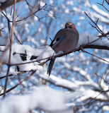 Jay sta sedendosi al ramo in pieno di neve al backgr del cielo blu Immagine Stock Libera da Diritti