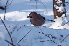 Jay sta sedendosi alla neve che cerca il cereale Immagine Stock Libera da Diritti