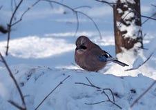 Jay sta sedendosi alla neve seria Fotografia Stock