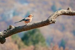 Jay. A jay stands on tree trunk in mountain forest. Scientific name: Garrulus glandarius Stock Image