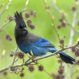 Jay Steller's Blue Bird Stock Photo