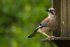 Jay su una tavola dell'uccello Fotografia Stock