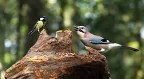 Jay and titmouse Stock Image