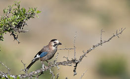 Jay on the Tree Royalty Free Stock Images