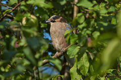 Jay on a tree branch in  garden. Jay on a tree branch in summer garden Stock Photo