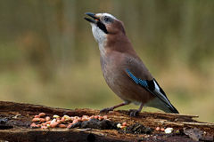 Jay at Tree Log Stock Photography