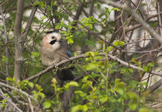 Jay on a Tree (Gallurus glandarrius). A jay is looking through branches of a tree royalty free stock photo