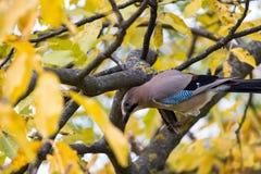Jay on the tree Royalty Free Stock Photos