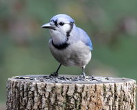 Jay on a Tree Stump. A blue jay (Cyanocitta cristata) perching on a tree stump Stock Images