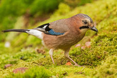 A Jay under the Oak Stock Photos