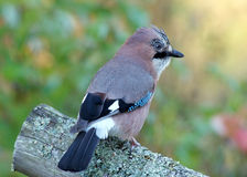Jay, The Vigilant (Garrulus glandarius) Stock Image