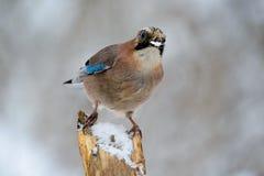 Jay-Vogel im Winter, der auf einer Niederlassung sitzt lizenzfreies stockbild