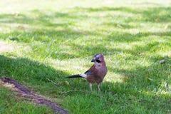 Jay-Vogelabschluß, der oben in einem Garten auf Gras steht stockfoto