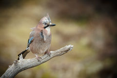 Jay on a weathered stick Stock Photo