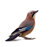 Jay on a white. Background in different poses Royalty Free Stock Image