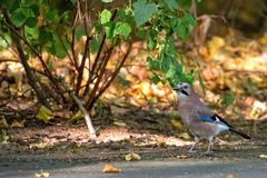 Jay in the wild Royalty Free Stock Images