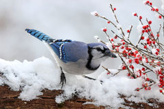 Jay with Winter Berries. A blue jay (Cyanocitta cristata) feeding on winter berries Royalty Free Stock Images
