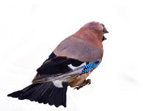 Jay in winter plumage close up Royalty Free Stock Image